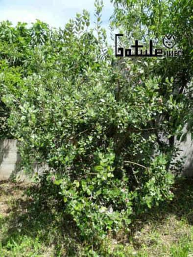 árbol feijoa propiedades
