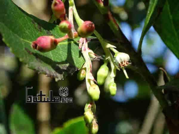 flores árbol arbutus unedo