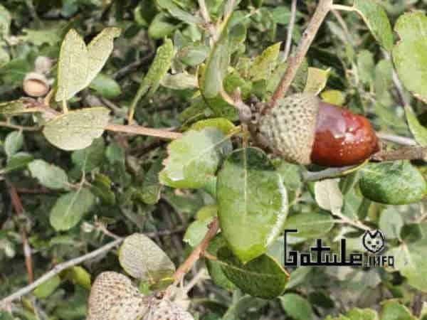 fruto árbol alcornoque