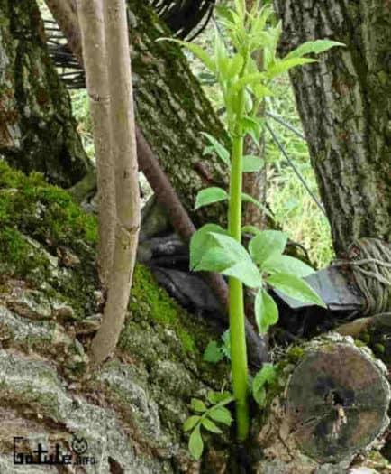 brote árbol sambucus nigra