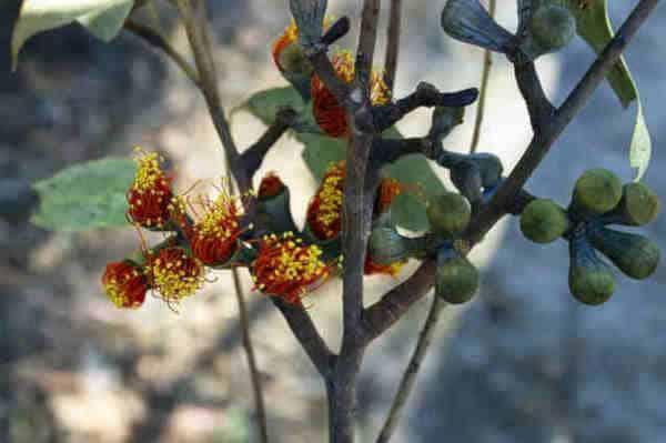 flor eucalipto