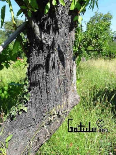 usos corteza árbol almendro