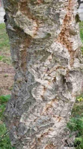 corteza árbol alcornoque