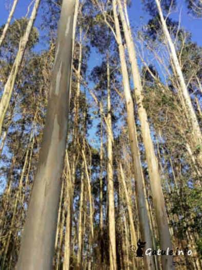 cortez del árbol eucalipto