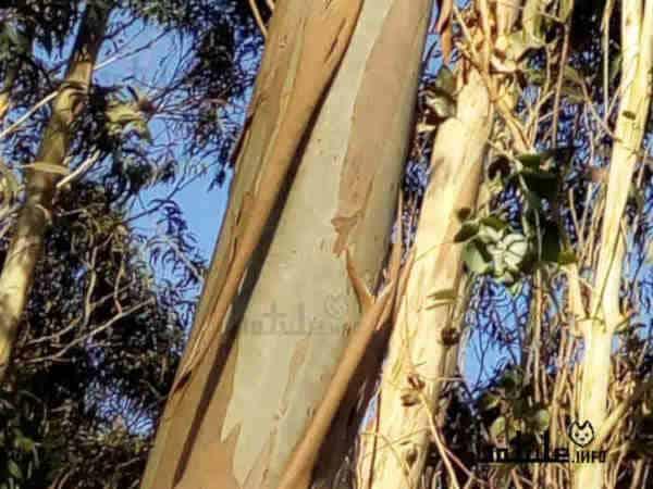 corteza eucaliptus