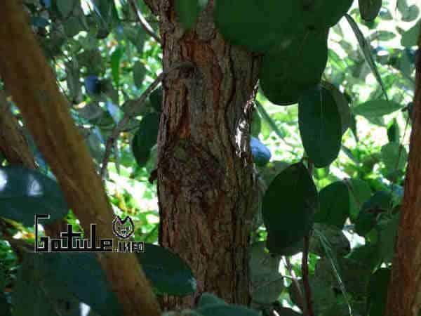 propiedades árbol feijoa
