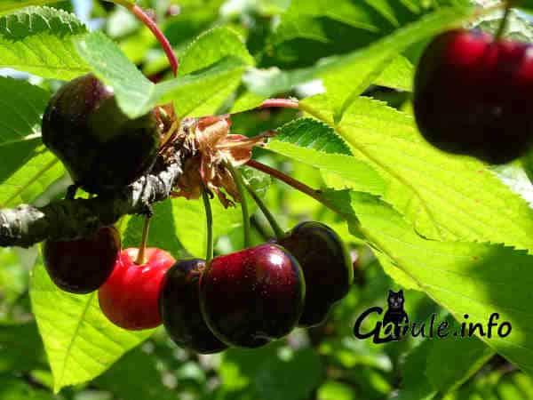 árbol frutal cerezo