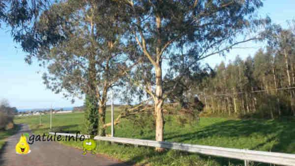 aceite eucalipto árbol