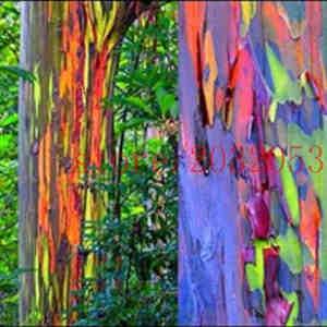 eucalipto arcoiris arbol
