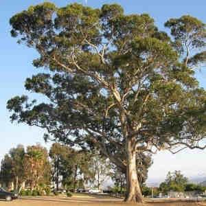 semillas eucaliptus azul
