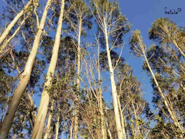 Arbol eucalipto propiedades