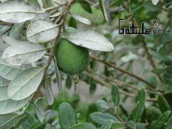 feijoa fruta acca sellowiana