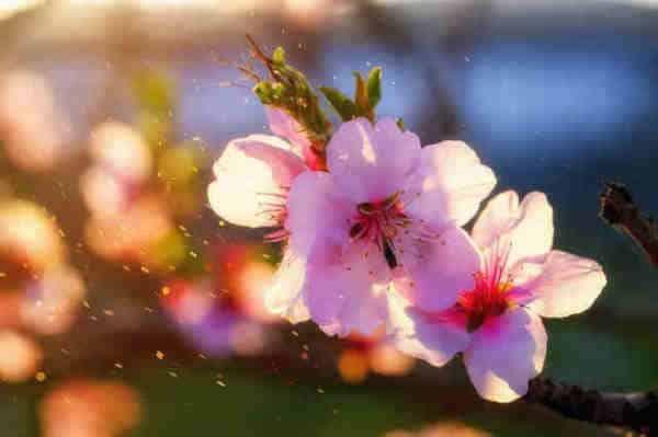flor de almendro propiedades