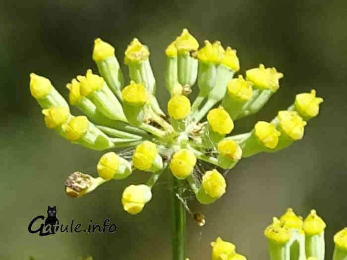 Foeniculum vulgare flores