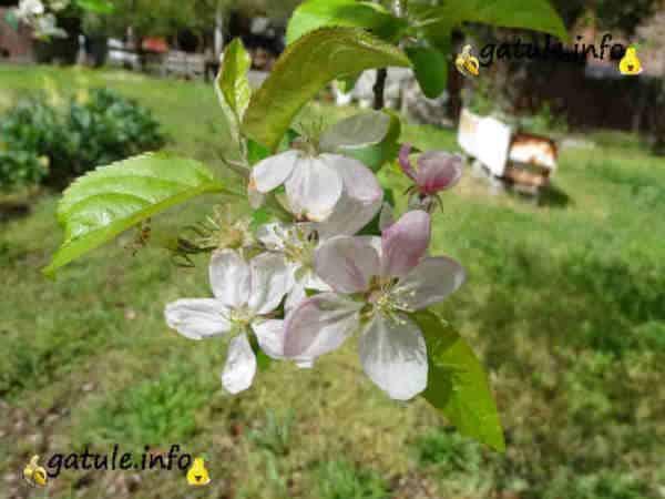 flores manzano árbol