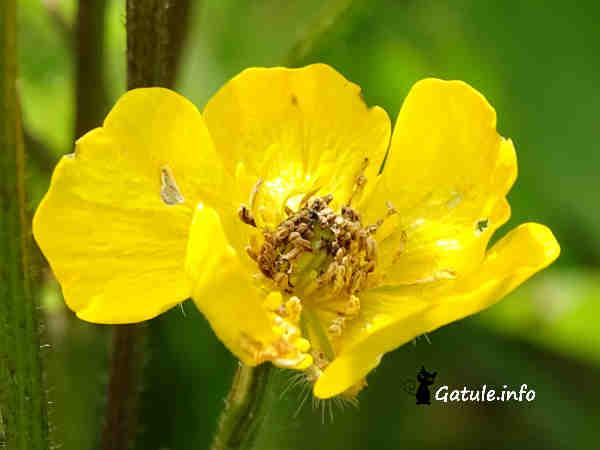 ranunculo de prado flor