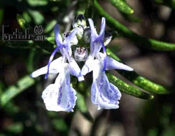 propiedades flor rosmarinus officinalis