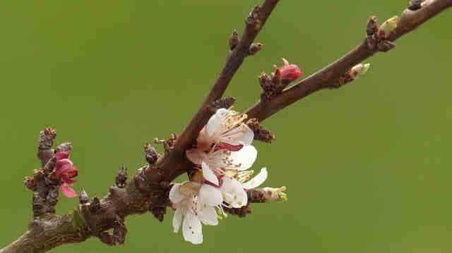 flores albérchigo