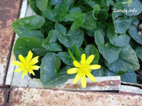 hojas y flores Ficaria verna