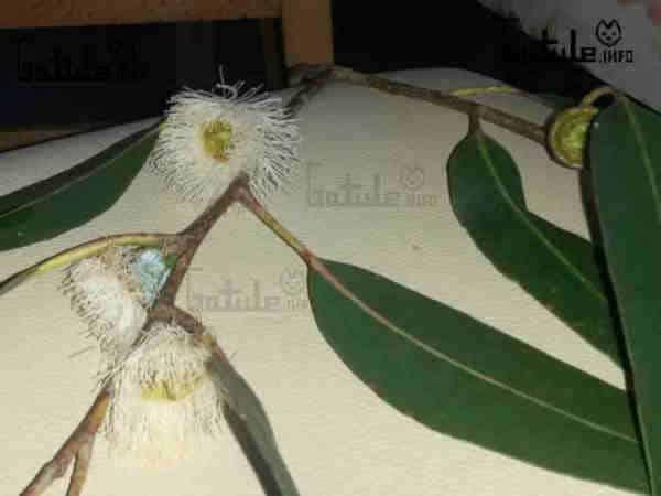 eucaliptus flor
