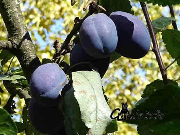 árboles frutales como el ciruelo