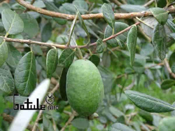 árbol Acca sellowiana