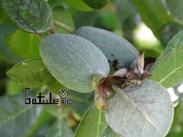 usos arbol feijoa