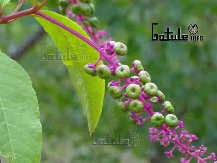 frutos phytolacca americana