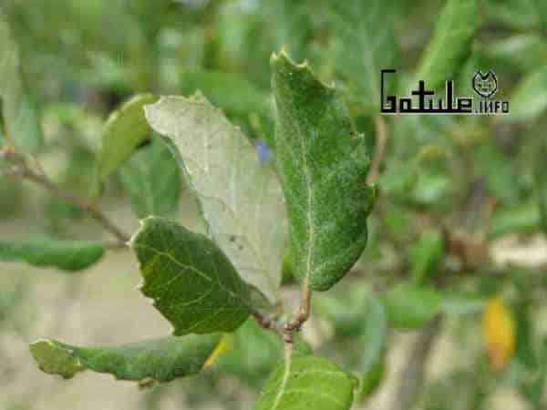 hojas árbol corcho