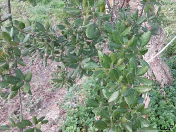 hojas de alcornoque