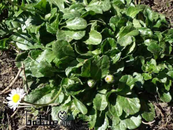 propiedades hojas margarita