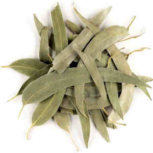 hojas secas árbol eucaliptus