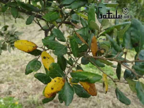 árbol alcornoque usos corcho