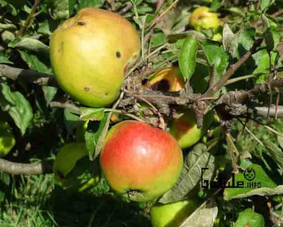 manzanas variedad calabazal