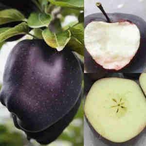 semillas malus domestica negra