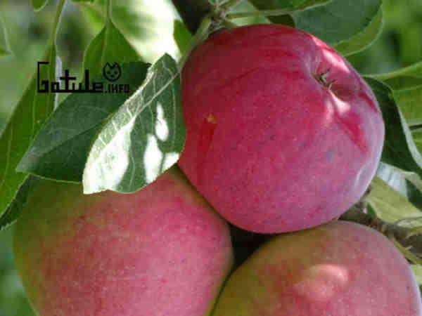 malus domestica propiedades manzanas