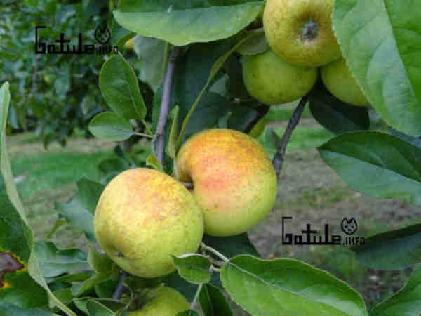 manzanas golden russeting
