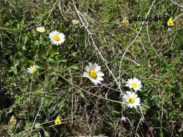 bellis perennis flores