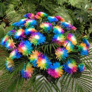 Semillas margarita arcoiris