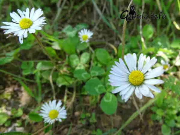 flores margarita