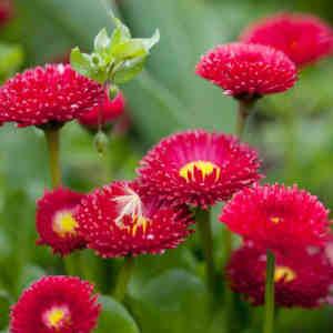 propiedades semillas margaritas rojas