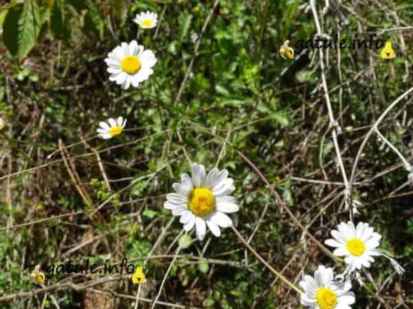 margarita flor propiedades