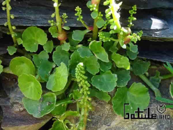umbilicus propiedades y beneficios