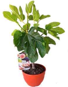 planta ficus carica