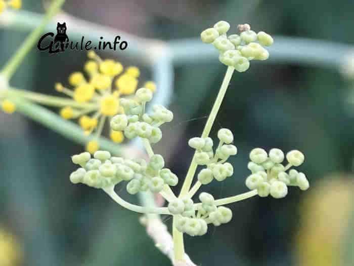 hinojo flor inmadura