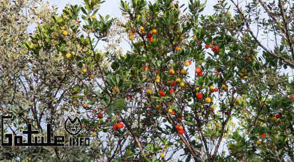 beneficios árbol arbutus unedo