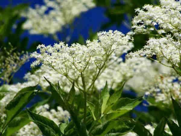 propiedades flores sauco
