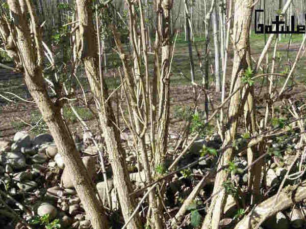 usos sambucus nigra