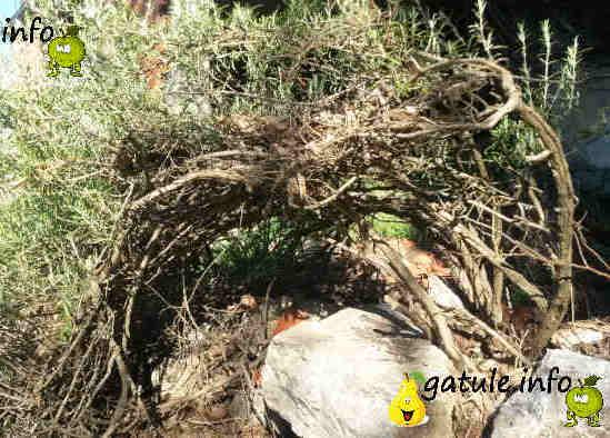 Rosmarinus Officinalis planta