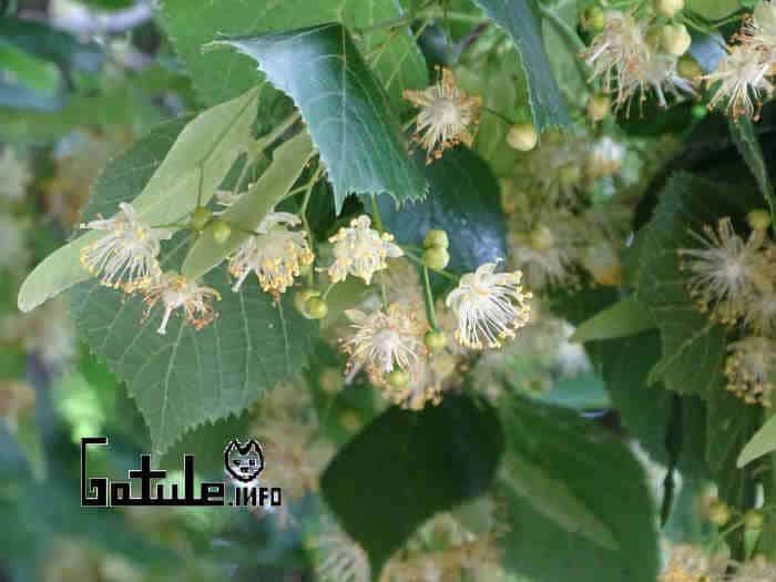 árbol tilia cordata